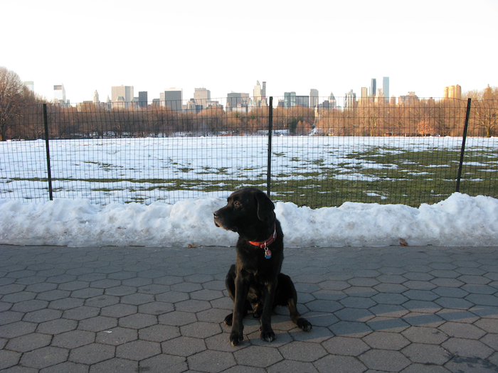 Hobbes by the great lawn in Central Park